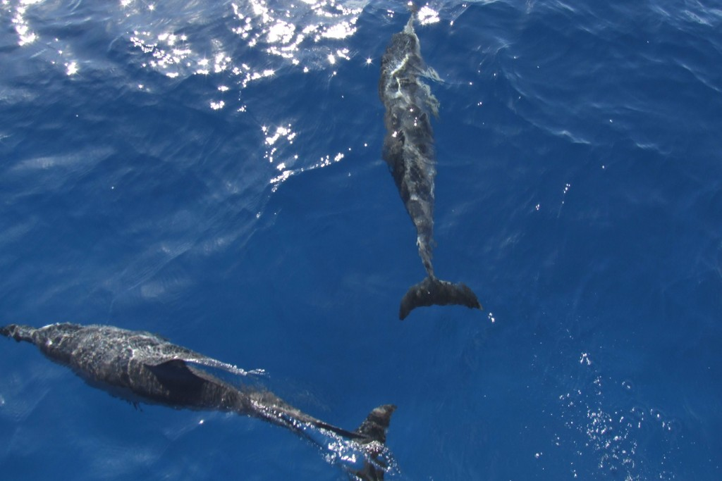 dolphins in hawaii